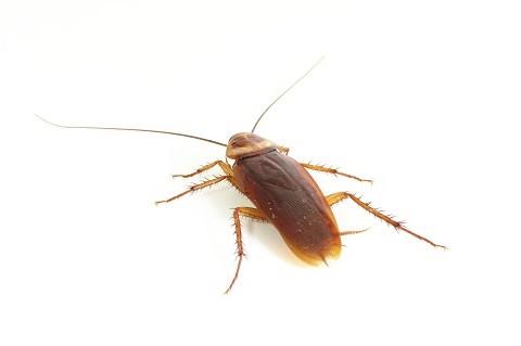 German Roaches