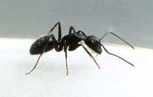Carpenter_Ant_2