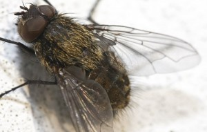 Common House Fly
