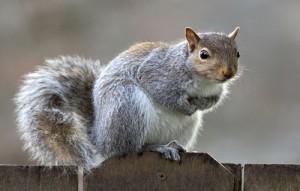 eastern_gray_squirrel_48_by_easterngraysquirrel-d5spwen