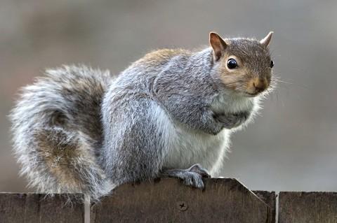 Eastern Gray Squirrels