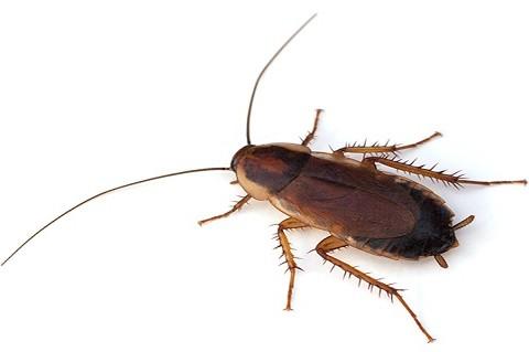 Pennsylvania Wood Roach